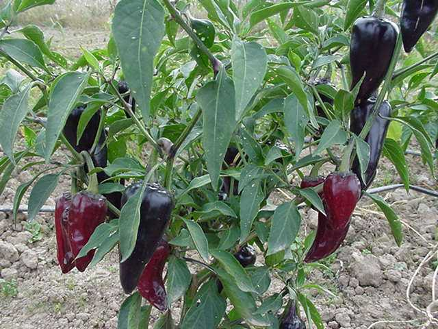 Purple Jalapeno Pepper Plant